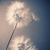 Two dandelions Wallpaper